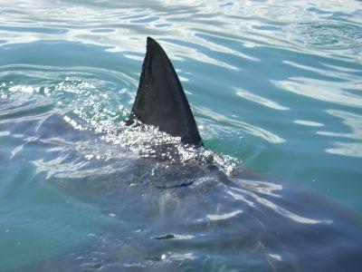 Shark 1